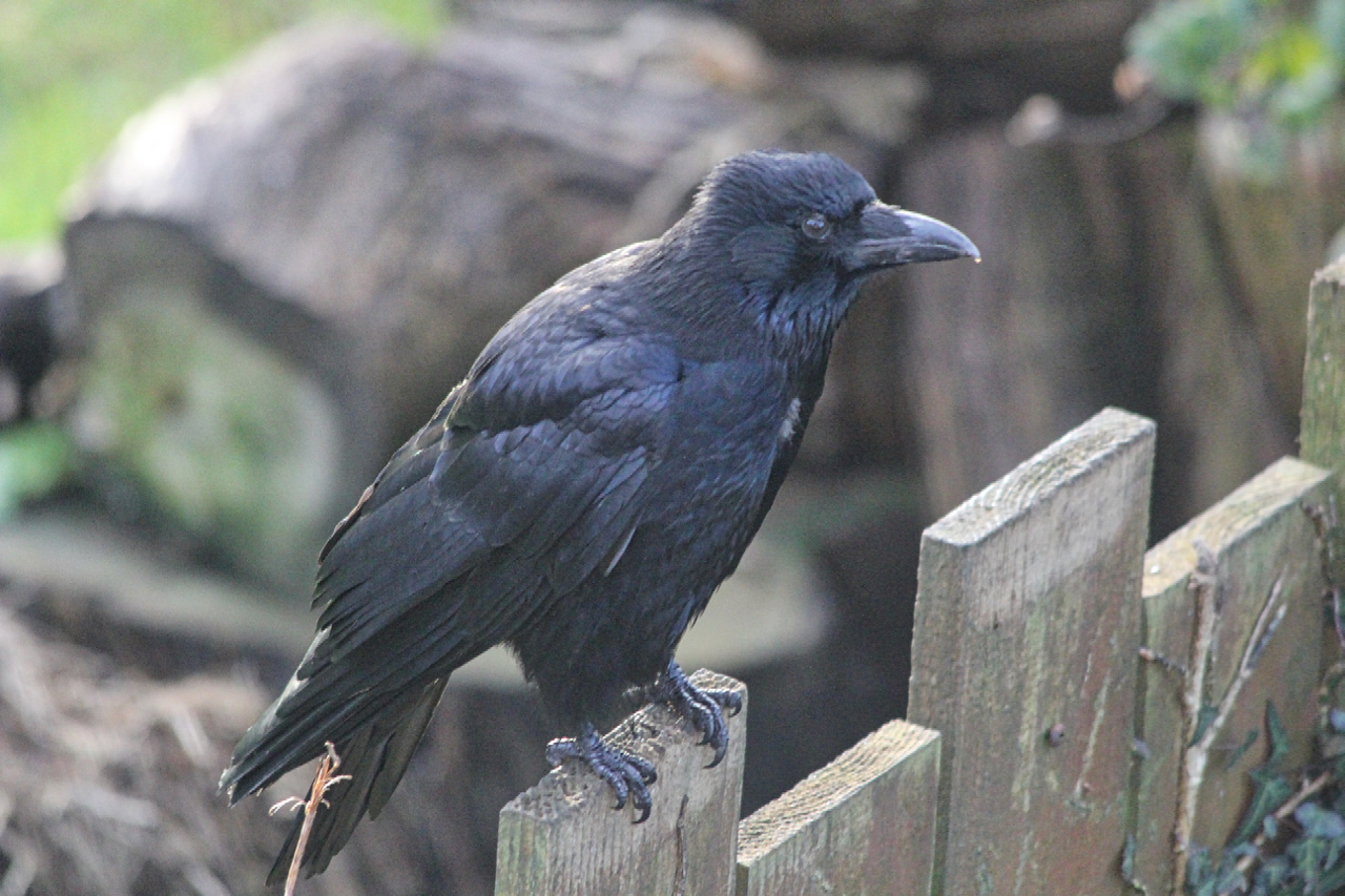 Adult carrion crow sitting on the fence