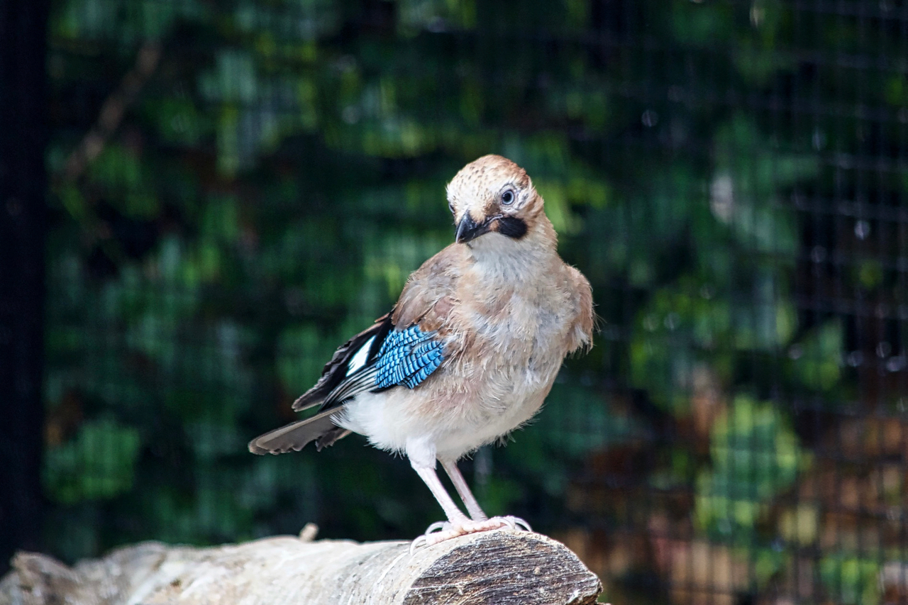 Clive is an orphaned jay fledgling, who recovered well after being rescued, treated for an internal infection and successfully hand reared.