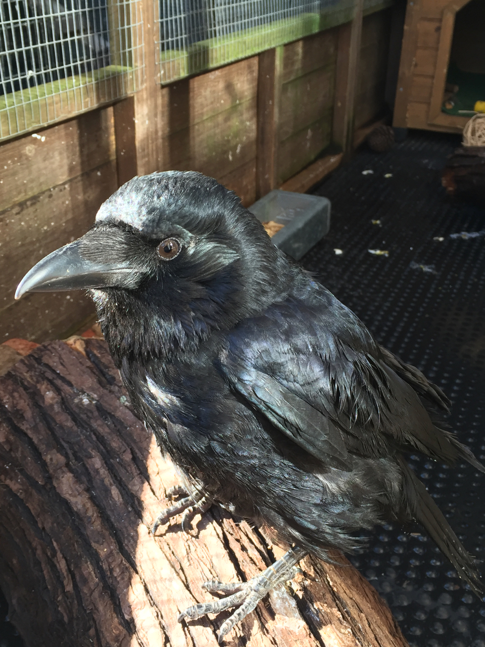 Carrion crow Pan Tau