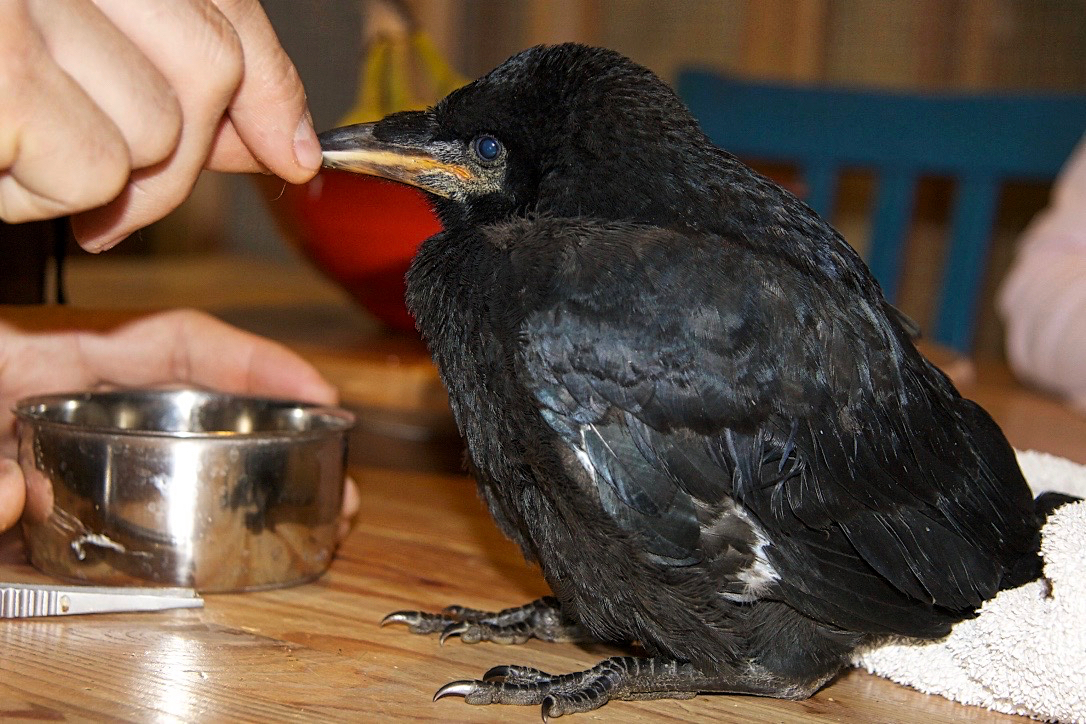 Teal'c is an orphaned rook fledgling, who recovered well after being found orphaned with signs of severe dehydration and starvation.