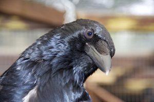 Carrion crow Chili