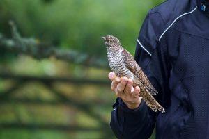 Juvenile Cuckoo
