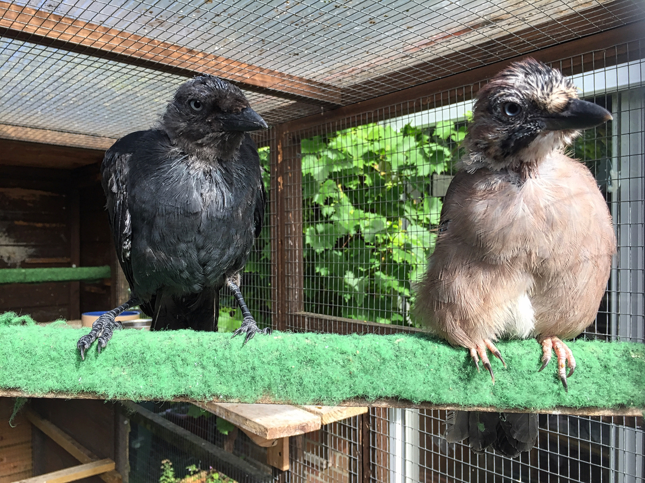 Jackdaw Kojak and jay Alyona