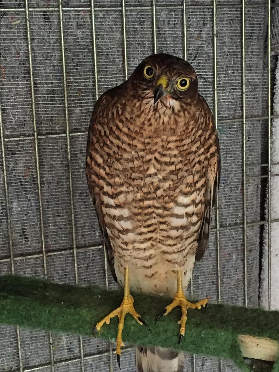 Sparrowhawk Amaya