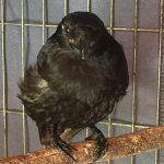 Carrion crow Castor