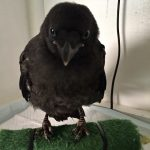 Carrion crow Corbyn