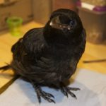 Carrion crow Joey