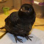Carrion crow Joey
