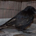 Carrion crow Justus