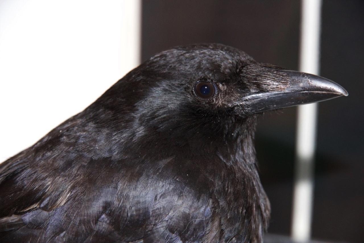 Carrion crow Magnus