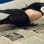 Carrion crow Philander