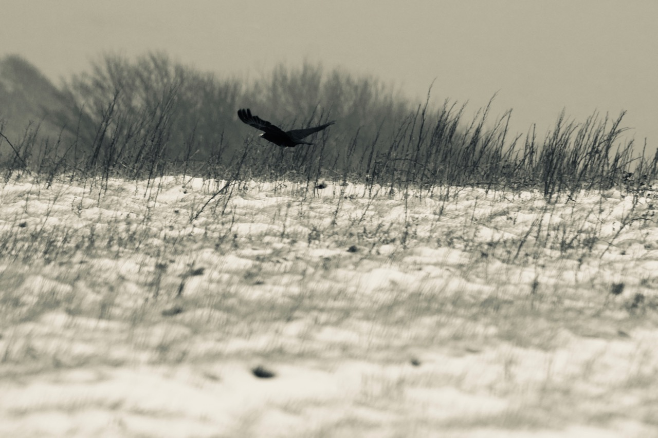 Raven at Gore Cliff