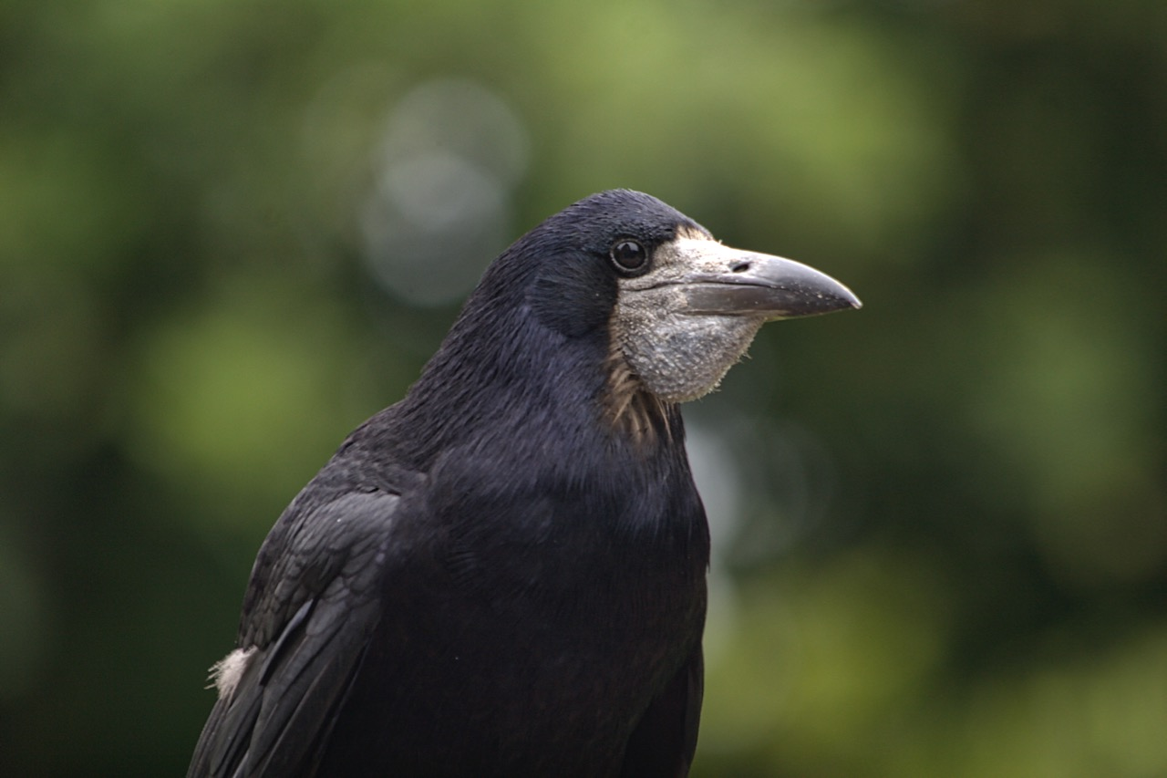 Rook with filled gular pouch
