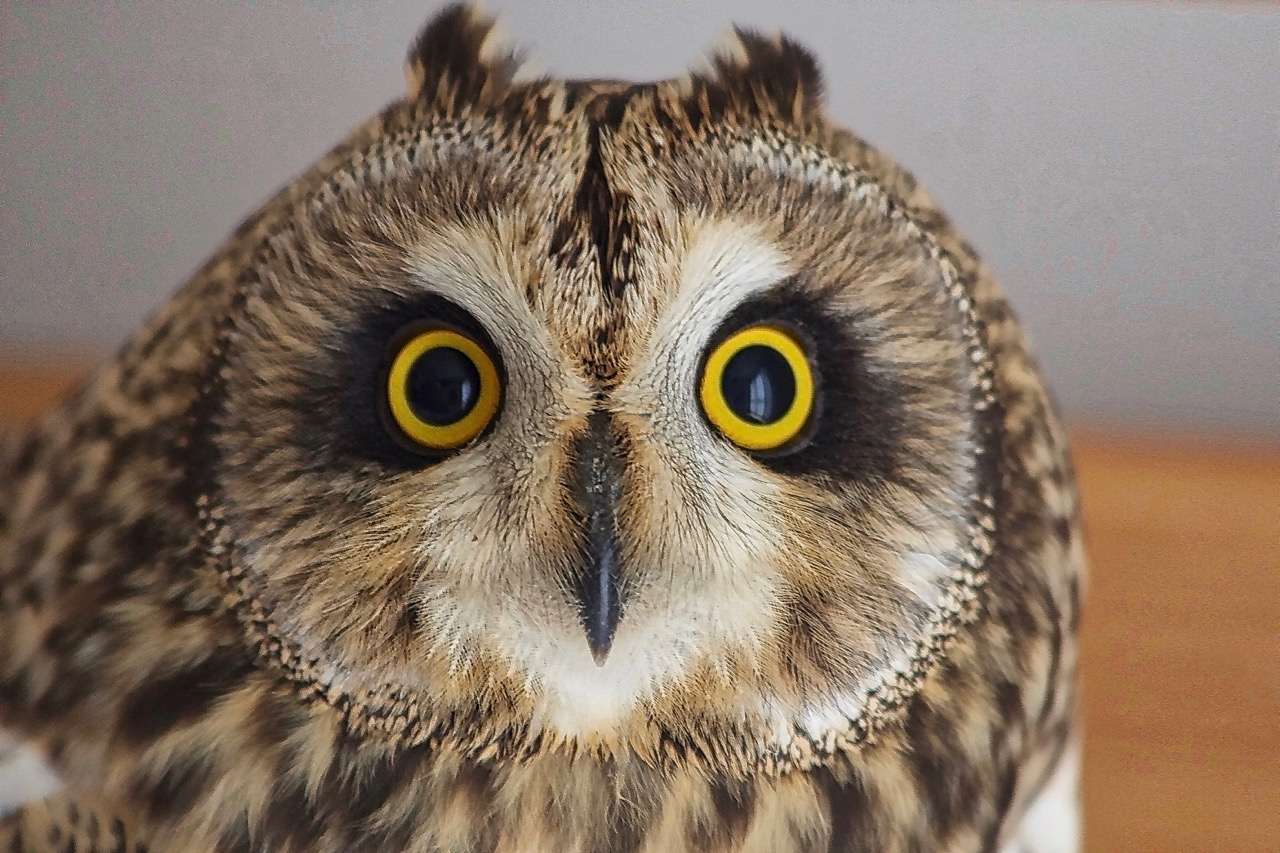 Short-eared owl Harriet