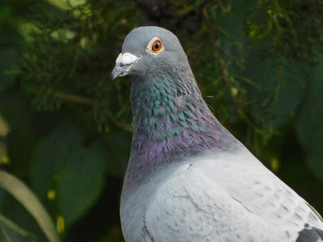 Feral pigeon Ambros
