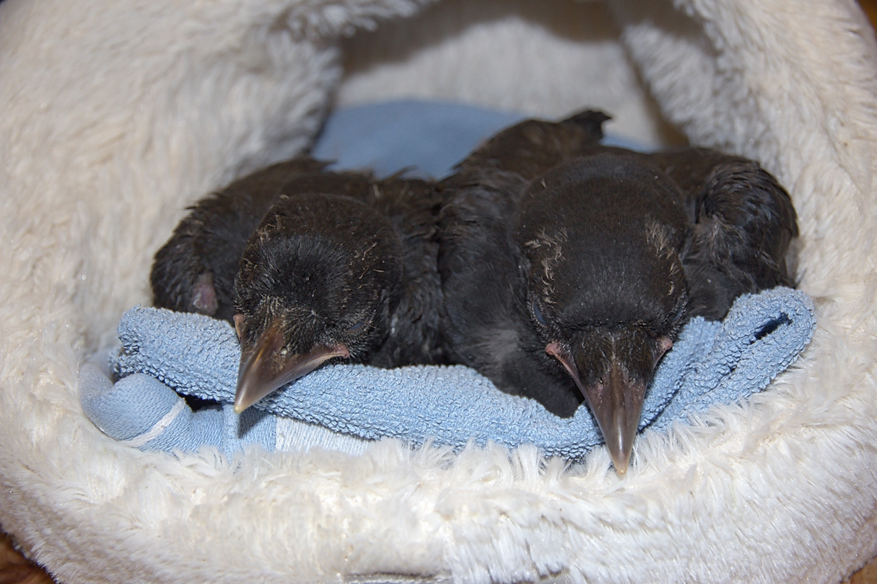 Carrion crow fledglings