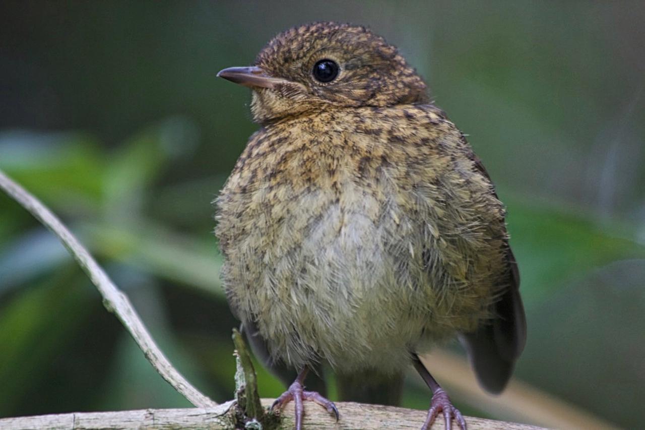 Robin fledgling