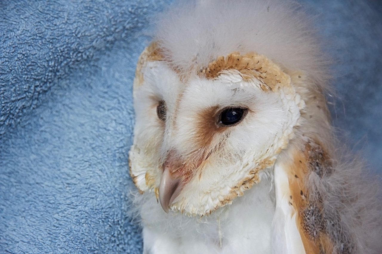 Barn owl nestling