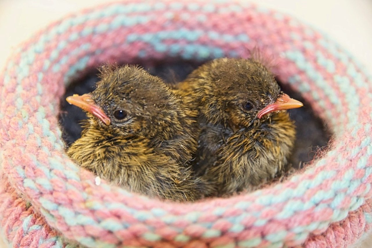Dunnock fledglings